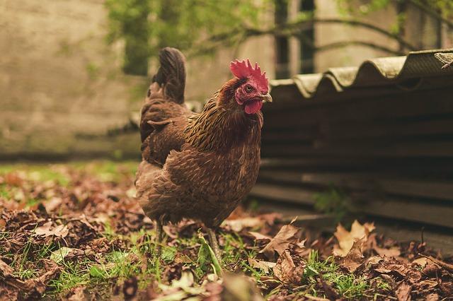 gallina da allevamento