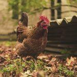 La crisi del settore avicolo Italiano che sta passando inosservata