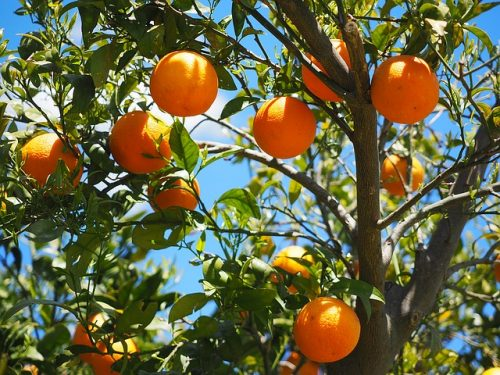 Coltivazione arance nel vaso: Guida e Consigli Utili