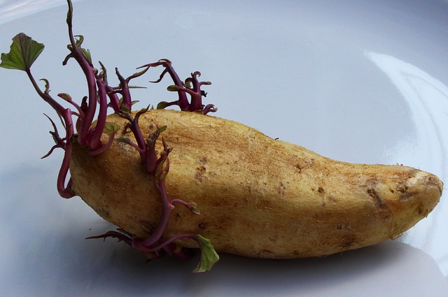 Possiamo mangiare le patate germogliate?